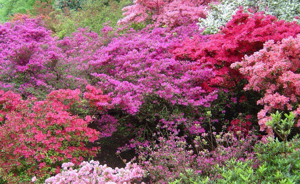 Kamelienblüte, Villa Taranto, Pallanza