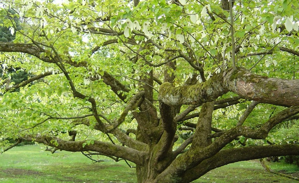 Taschentuchbaum Villa Taranto