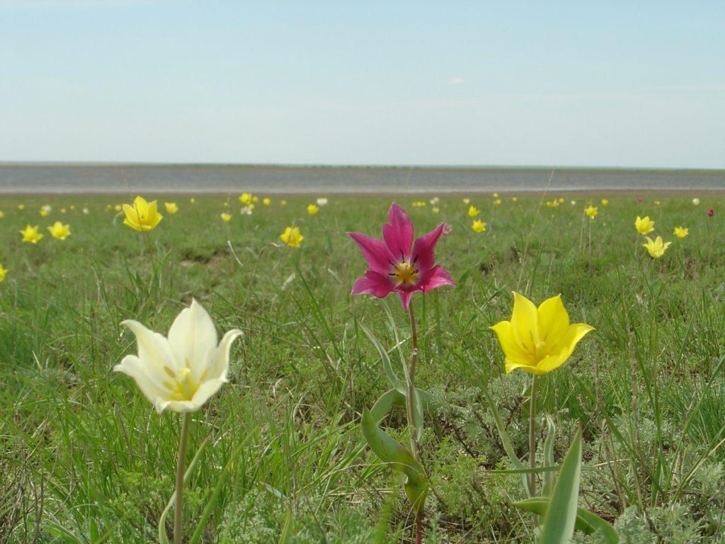 Tulpenblüte in der kasachischen Steppe