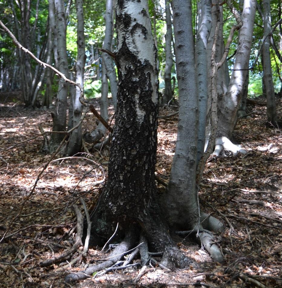 Sich liebende Bäume Val Grande