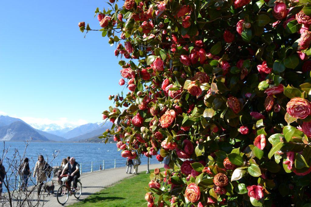 Kamelien am Lago Maggiore: Kamelienstrauch Lungolago Pallanza Lago Maggiore