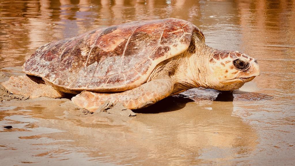 Freilassung einer Meeresschildkröte Caretta caretta am Strand – Reise Geschichten Emilia-Romagna